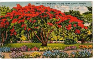 Royal Poinciana Tree, Florida  (writing on picture)