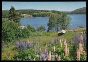 Lupines growing at Goose Cove, St. Ann's Bay
