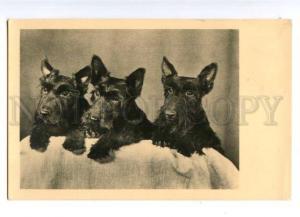 177994 Lovely SCOTTISH TERRIER Dogs Family Old PHOTO PC