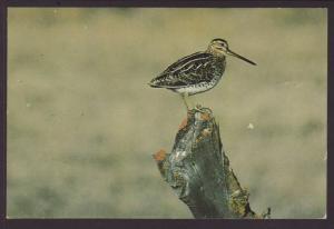 Wilson's Snipe Postcard