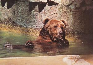 Alaskan Brown Bear San Diego Zoo