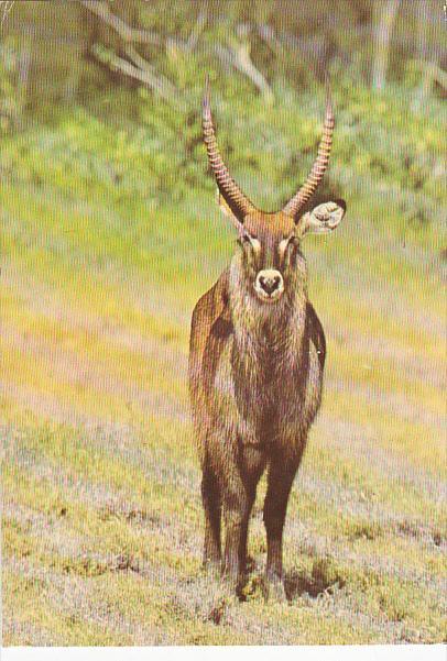 Wildlife Of Kenya Waterbuck