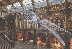 Giant Suspended 25.2 Metre Blue Whale Skeleton London Museum Postcard