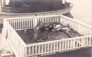 Seals In San Diego Harbor California Real Photo