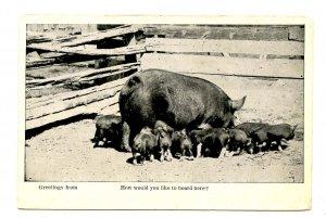 Feeding Piglets