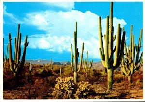 Arizona Family Group Of Saguaro Cactus