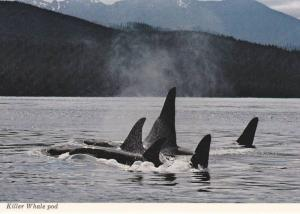 Killer Whale Pod in wild , B.C. , Canada , 50-70s Version-1 with text
