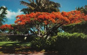 Hawaii The Flame Tree Royal Poinciana