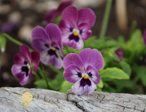 Handmade Postcard Set of 6, Duo Tone Purple Pansies And Rustic Wood