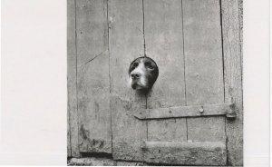 Springer Spaniel Dog Head Nose In Old Fence Award Photo Postcard