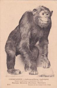 Chimpanzee, British Museum , LONDON, 1900-1910´s