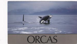 Orcas, Killer Whale Breaching, 40-60´s