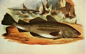 Fish - The Cod