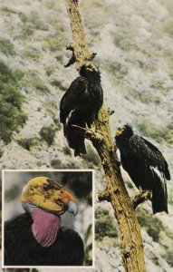 California Condor , 1979