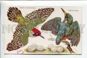 3178149 Bird hunting Boyle TUCK Green Woodpecker Kingfisher