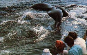 MA - Cape Cod. Humpback Whale