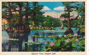 Cypress Trees and Lotus Plants On Reelfoot Lake Tennessee