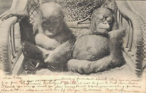 Indonesia Orangutan Babies 03.24