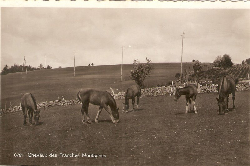 Chevaus des Frenches Montagnes Old vintage Swiss postcard