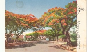 Famoyant Trees, Durban, Natal. South Africa Nice South African PC 1950s