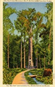 FL - Longwood. The Cypress Tree Methuselah
