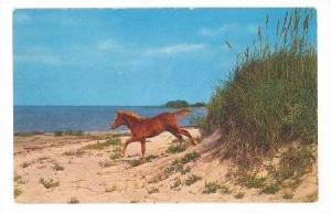 Wild Pony, North Carolina Outer Banks, 40-60s