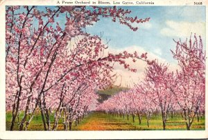 California Los Gatos A Prune Orchard In Bloom 1921