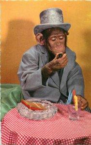 High hat monkey chimp cigar smoker semi-modern postcard