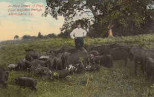 ALEXANDRIA , Louisiana , 00-10s ; Pig Farmer