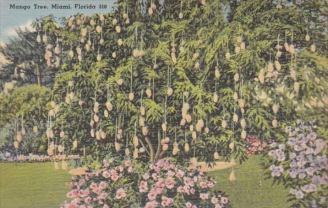 Florida Trees A Mango Tree 1948