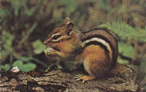 Chipmunk, Greetings from Queensville, Ontario, Canada, 40-60s