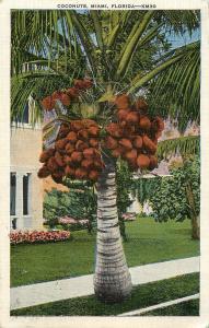 1937 POSTCARD COCONUTS PALM TREE MIAMI FLORIDA FL