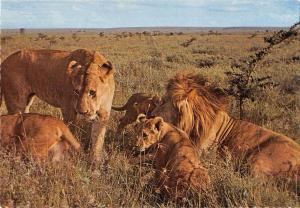 BR100653 lions the whole family kenya  animal animaux   africa