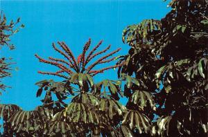 Umbrealla Tree - Florida