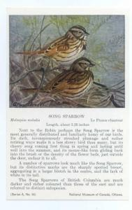 Song Sparrow painted by Allan Brooks, National Museum of Canada, Ottawa