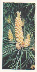 Brooke Bond Vintage Trade Card Woodland Wildlife 1980 No 26 Scots Pine