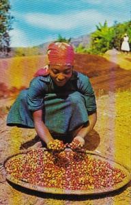 Haiti Native Girl Sorting Coffee Berries