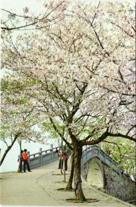 CPM Cherry Blossoms, Beside Changchun , Everlasting pring Bridge CHINA (668363)