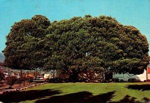 California Santa Barbara Moreton Bay Fig Tree Planted In 1877
