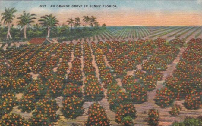 Florida Trees Typical Orange Grove