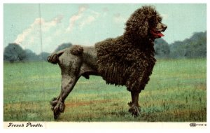 Dog , French Poodle