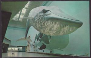 Blue Whale,Smithsonian,Washington,DC Postcard