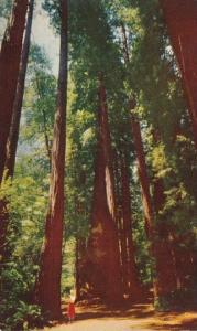 California Mill Valley Muir Woods