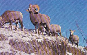 Canada Rocky Mountain Bighorn Sheep Canadian Rockies