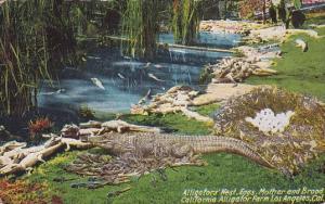 Alligators Nest Eggs Mother And Broad California Alligator Farm Los Angeles C...