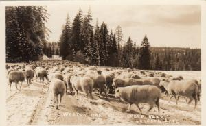 RP: WESTON, Oregon, 30-50s; Sheep near Langdon Lake