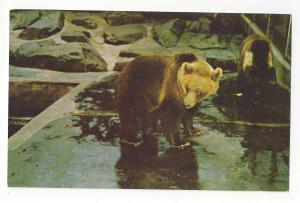 Washington DC National Zoo Brown Bear Vtg Postcard