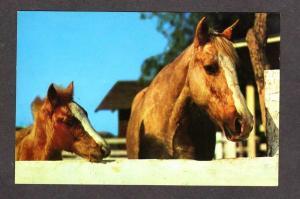 View Palomino & Colt Horse Postcard Horses