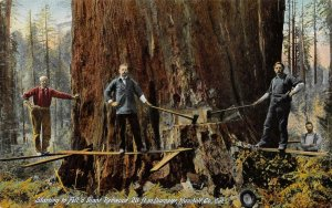 Starting to Fell a Giant Redwood Tree, Humboldt Co, CA Logging Vintage Postcard
