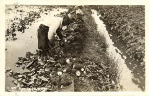 hawaii, Hawaiian Taro Field Worker (1930s) RPPC